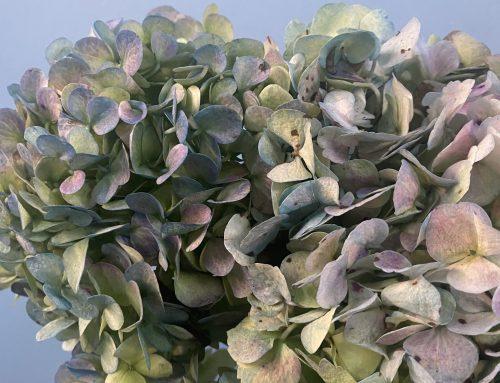 Como secar hortensias: lo que necesitas saber